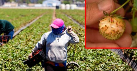 Image of DANGER: WWI enemy-killing gas now being used on Strawberries (here's how to tell)