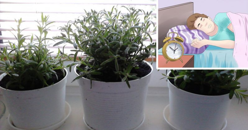 Image of 5 Houseplants That PREVENT Insomnia (and effectively purify the air in your home)