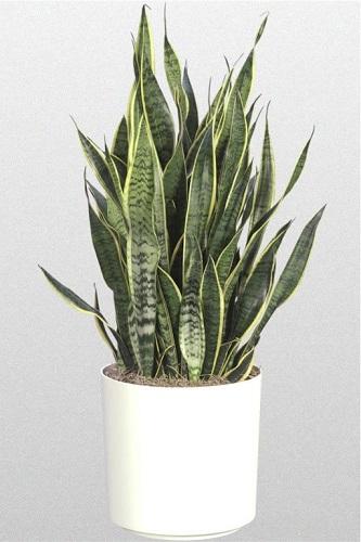 Snake-plant1