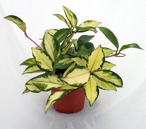 waxplant