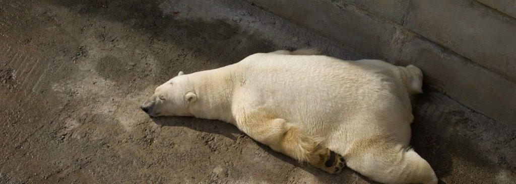 tired-polar-bear-1400x500