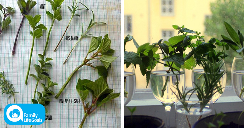 How to grow an endless supply of perfect flowers and herbs from cuttings