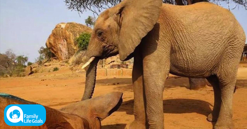 Elephant won't leave the side of his friend who was shot by a poisoned arrow