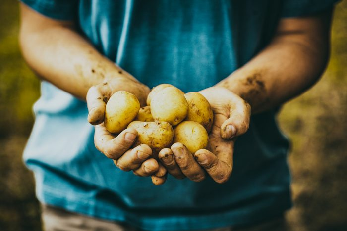 Organic vegetables. Farmers hands with freshly harvested vegetables. Fresh bio potatoes ** Note: Shallow depth of field