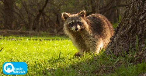 Image of Heartbreaking Footage Shows Raccoon Mourning Over Dead Body Of Ran Over Friend