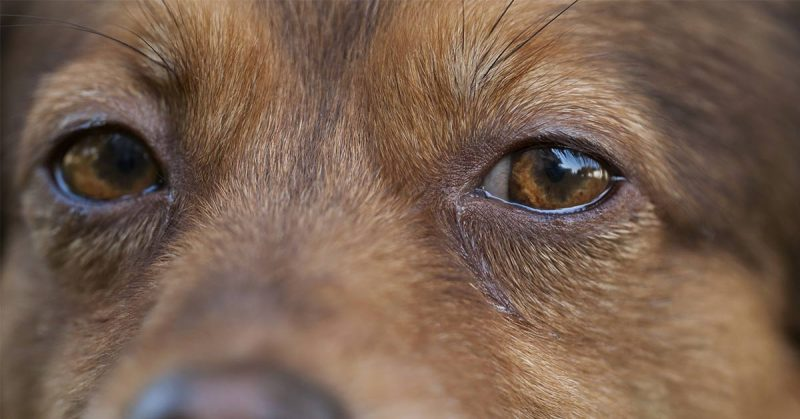 brown dogs eyes
