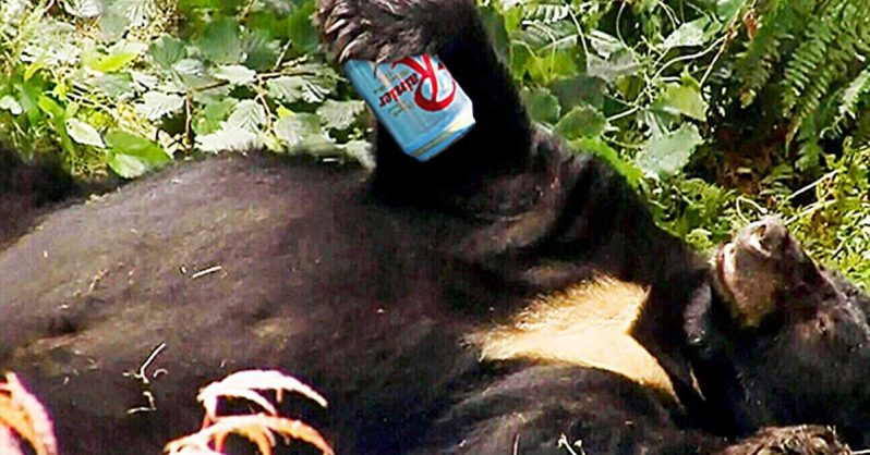 Image of Beer stealing bear gets drunk and passes out in the woods