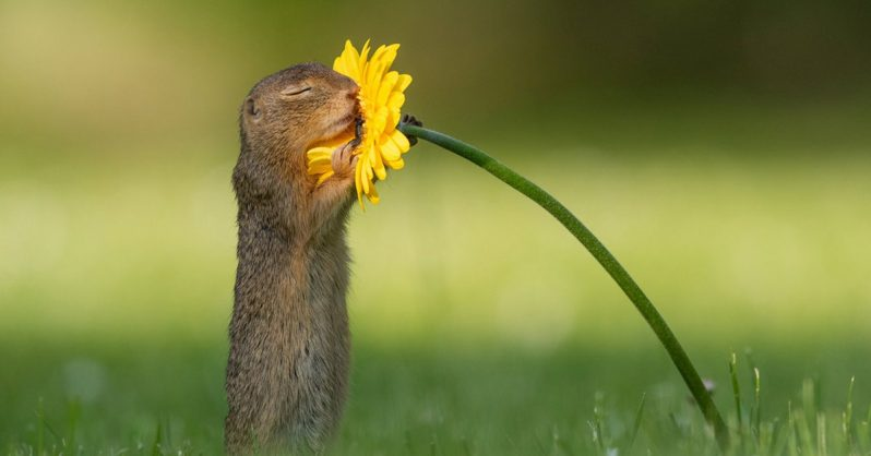 Image of Photographer Captures Moment Wild Squirrel Stops to Smell a Sunflower