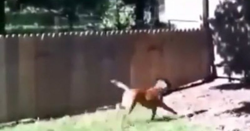 Image of Man finishes his dog fence and takes his dog out for a test run that doesn't go so well