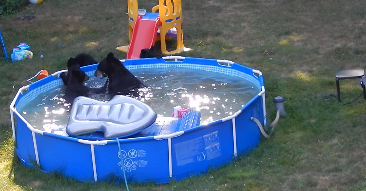 Black Bears Surprise New Jersey Family By Holding A Wild Pool Party In Their Backyard