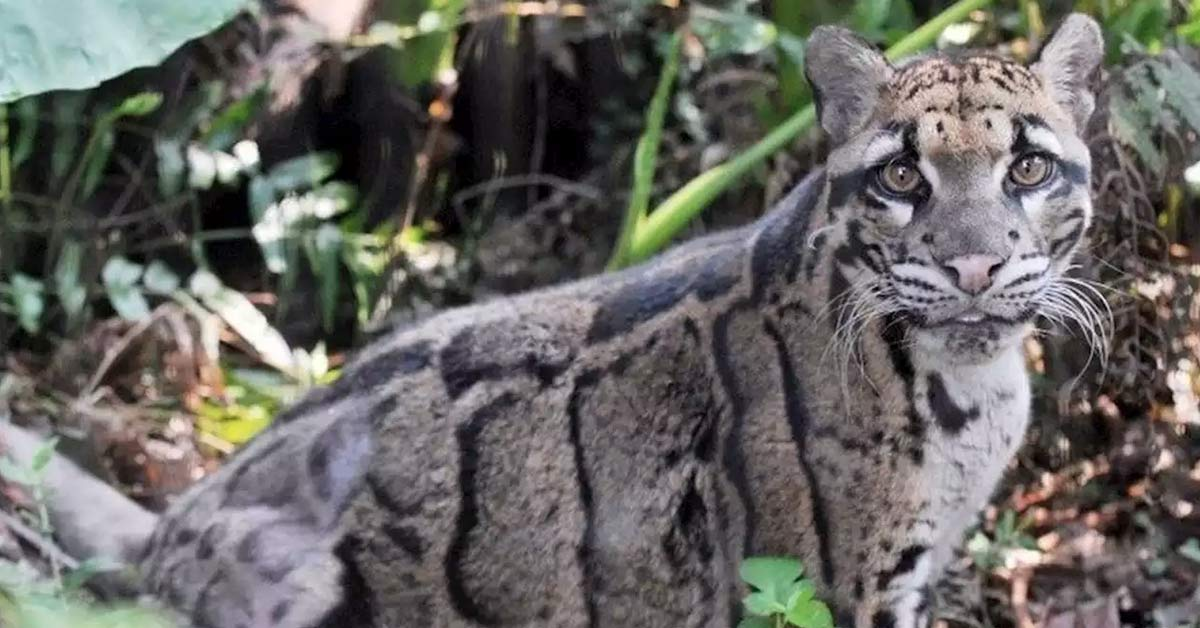 'Extinct' Formosan Clouded Leopard Seen In Taiwan For The First Time Since Disappearing Over 30 Years Ago