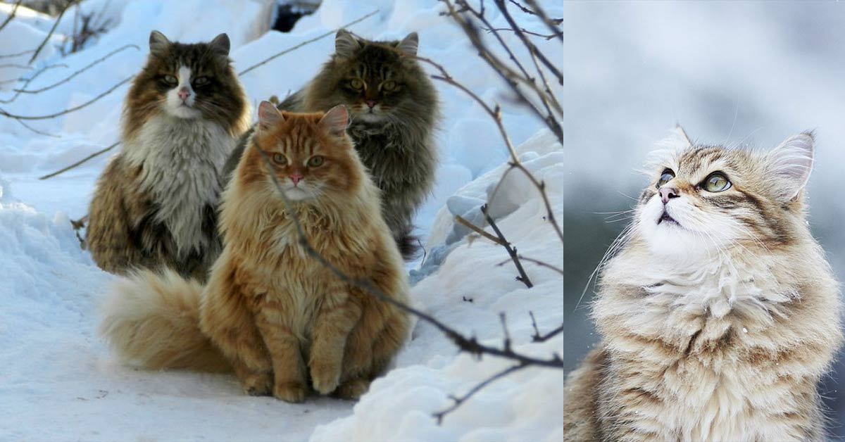 "The National Cat of Norway: Norwegian Forest Cats Are Said To Have Been ""Pets of the Vikings"""