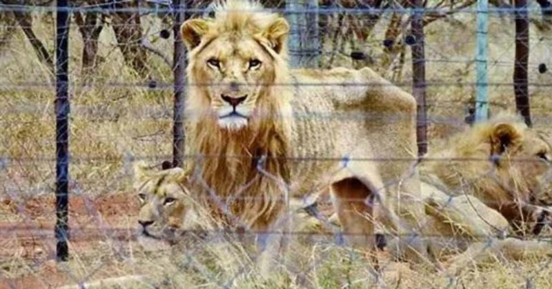 250 Starving Lions Discovered in a Trophy Hunting Farm in South Africa