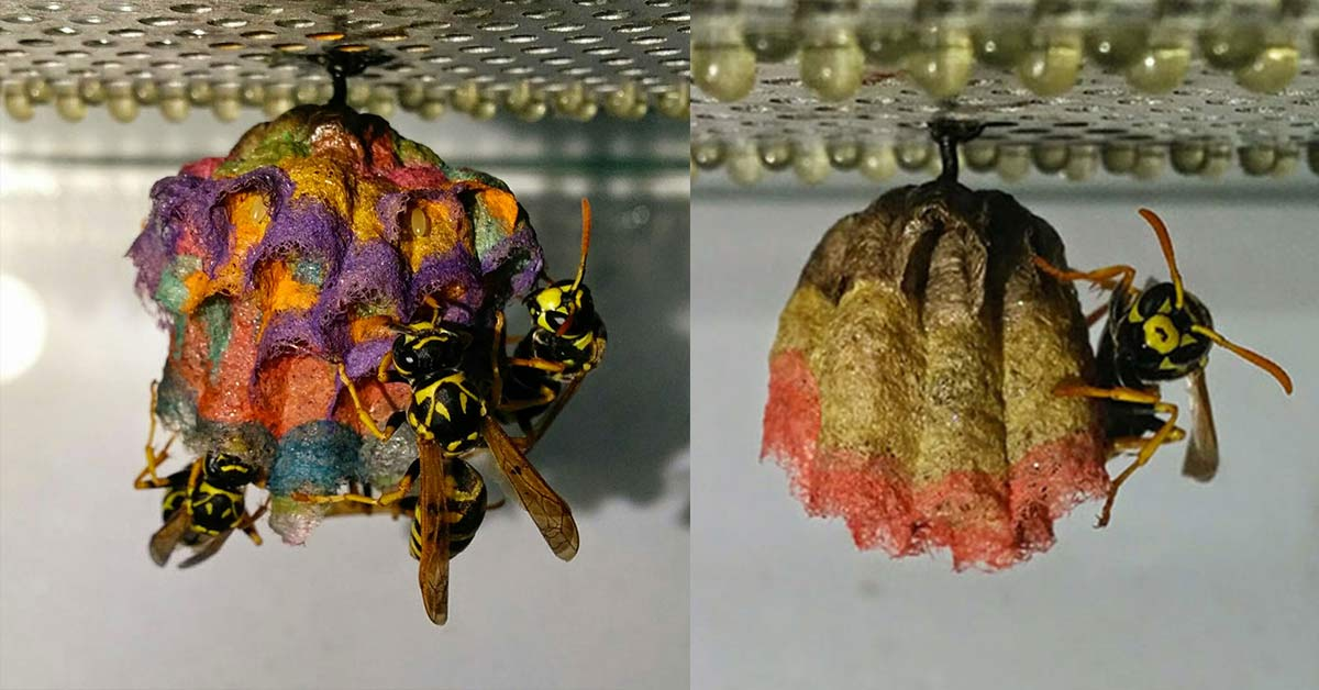 Give a wasp colored paper, it will build you a rainbow nest