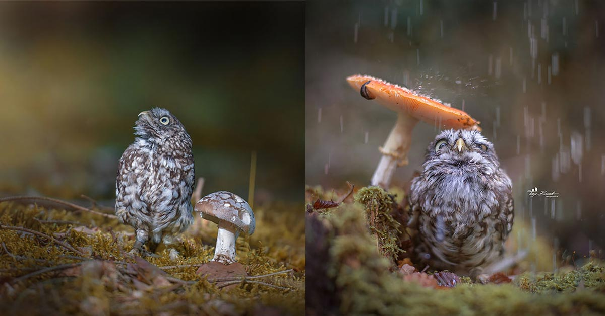 This Picture of a Tiny Owl Taking Cover from the Rain under a Mushroom Is All the Cuteness You Need This Week