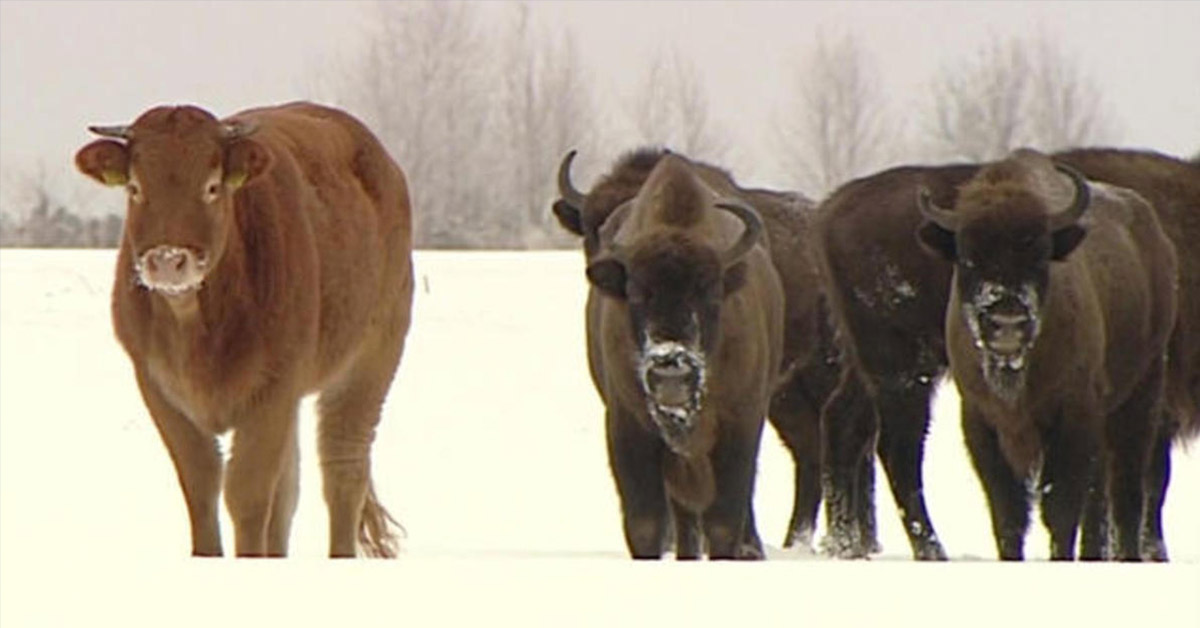 This Brave Cow Runs Off From Farm to Join a Herd of Wild Bison
