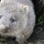 How Wombats Saved The Lives Of Other Animals By Allowing Them Take Refuge In Their Burrows