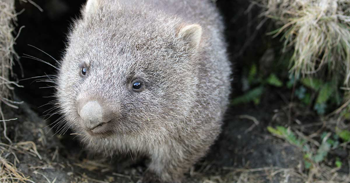 Wombat Burrows Are Saving The Lives Of Other Animals By Allowing Them Take Refuge During Bushfires