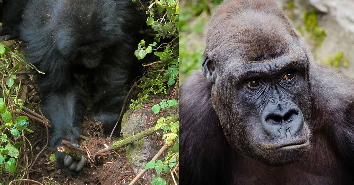 In An Incredible Turn Of Events, Gorilla Youngsters Were Seen Destroying Snares Set By Hunters In The Forest