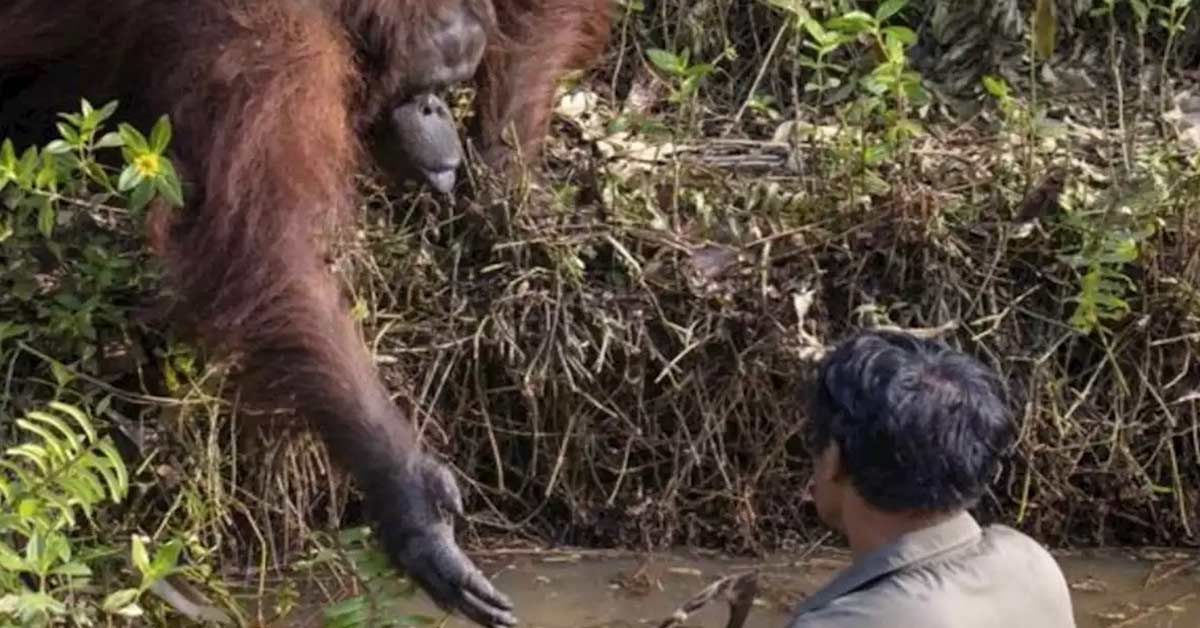 Photographer captures the incredible moment an orangutan offers to save man's life