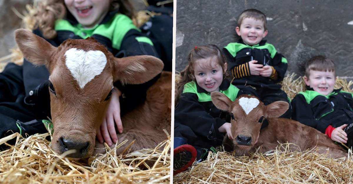 Adorable Calf Born On Valentine's Day With Perfect Heart-Shaped Patch On Its Head