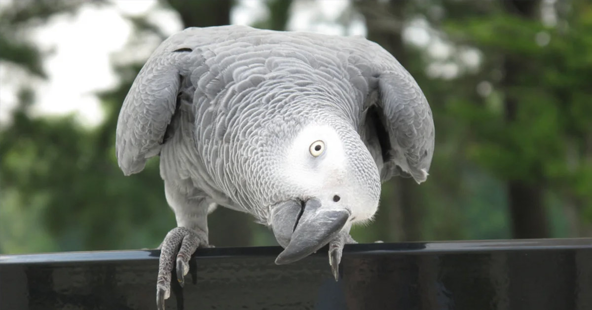 Four Years After Disappearing, Parrot Returns to British Owner Speaking Spanish.
