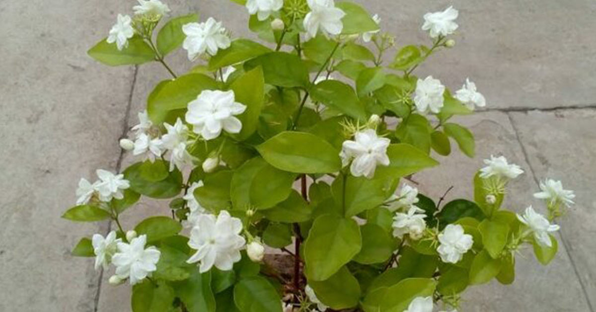 Keeping a jasmine plant in your room helps to improve your mental health!