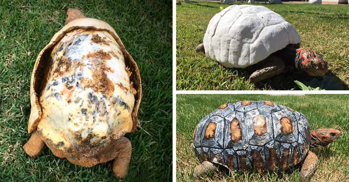 Tortoise whose shell got burnt in a fire gets world's first new hand-painted 3D-Shell