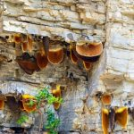 World's Largest Honey Bee Makes Rare Hallucinogenic Honey