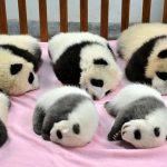 A Baby Panda Daycare Exists, And It's Open For Visitors
