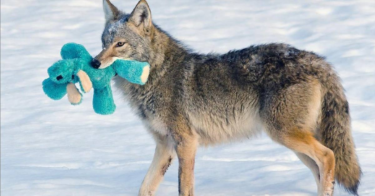 Wild Coyote Shows His Playful Side As He Plays With An Old Dog Toy He Found In The Snow