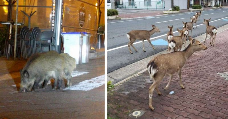 Animals Are Invading Cities in Search of Food As People Quarantine Themselves At Home