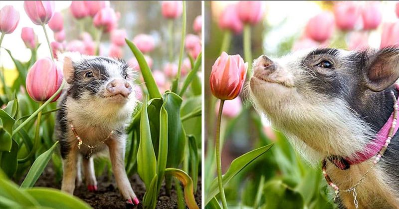 This Photo of a Cute Little Pig Sniffing Pink Tulips will Certainly Brighten Your Day