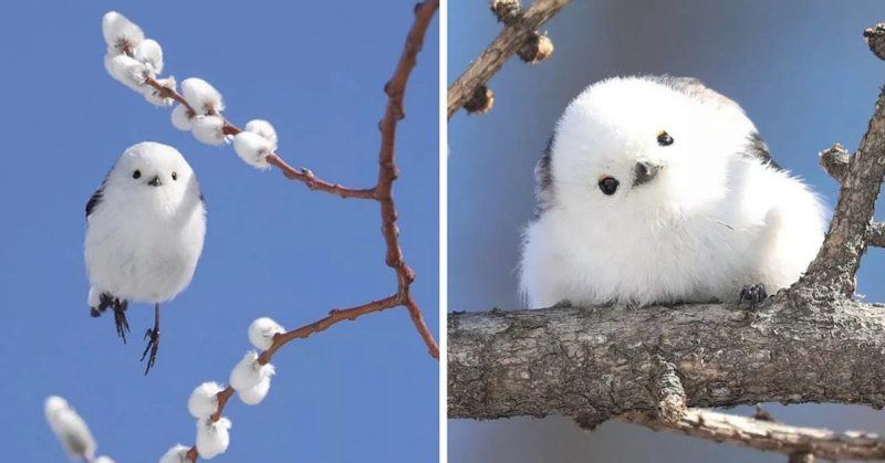 These Tiny Birds Live on a Japanese Island and Look like Flying Cotton Balls