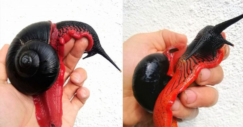 "Dracula Mollusca: See The Red and Black ""Fire Snail"" That's The Vampire Equivalent of a Slug"
