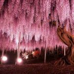 This 149-Year-Old Wisteria in Japan Looks like An Enchanted Waterfall That Never Hits the Ground