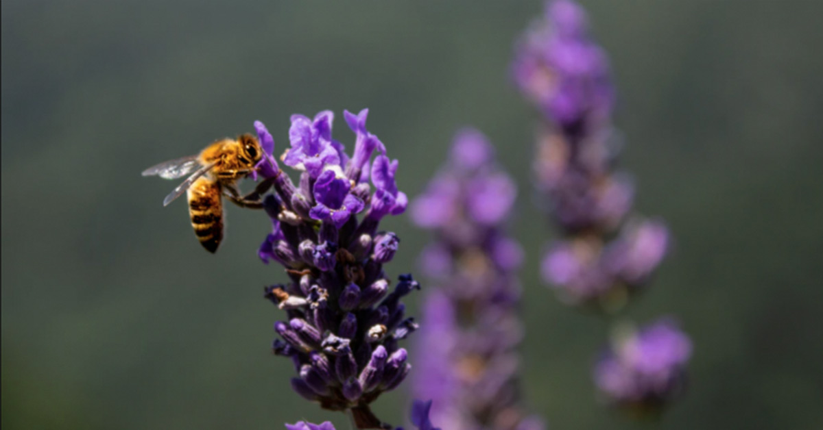 Bee-autiful: Bee Populations Surge as Pollution Plummets and Environmental Conditions Improve