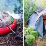 Tiny Hedgehog Goes Camping With His Tiny Equipment, and the Photos Are Adorable