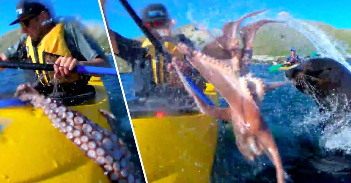 Incredible Moment Seal Slaps Kayaker In The Face With Massive Octopus