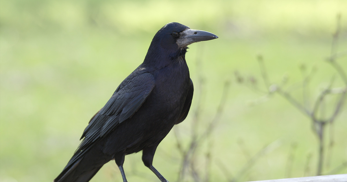 Crows Can Hold A Grudge and Remember Your Face If You Are Mean To Them