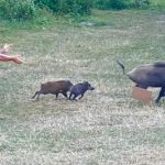 """You swine!"" Nudist Chases Boars through Park After They Steal His Laptop"