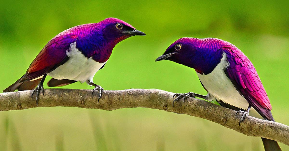 The Violet-Backed Starling Looks like A Beautiful, Flying Gemstone
