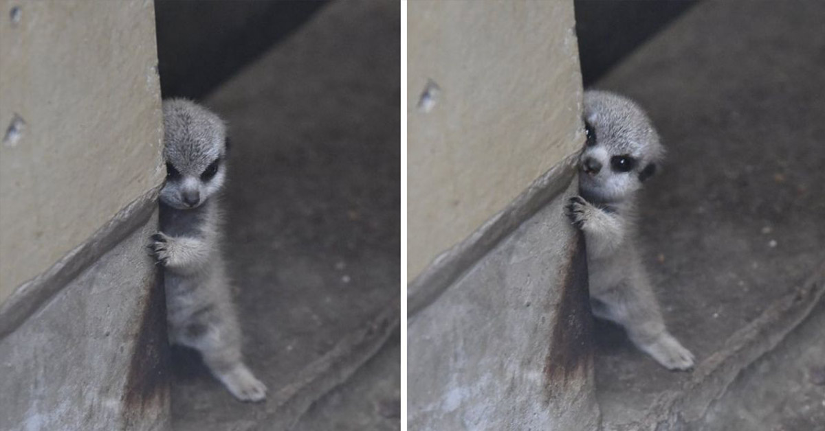 Japanese Photographer Captures Adorable Pictures of a Shy Baby Meerkat and Its Family