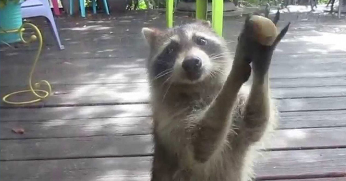 Raccoon Cleverly Knocks on a Glass Door With Rock Between Her Paws When the Cat Food Bowl Is Empty