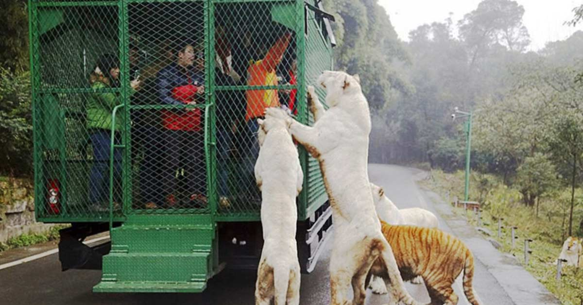 This Zoo In China Puts Visitors In Cages And Lets Animals Roam Free