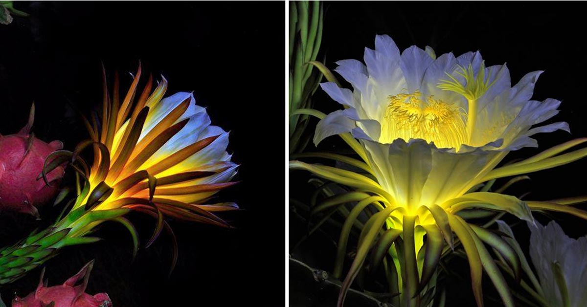 The Magical and Mysterious Pitaya Flower Only Blooms for One Night