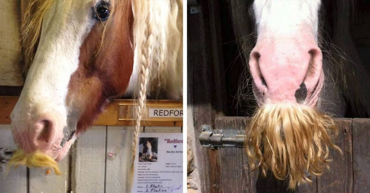 This Breed of Horses Can Grow Moustaches and They Are Just Awesome