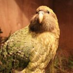 Endangered parrot so fat it can't fly has been named Bird of the Year