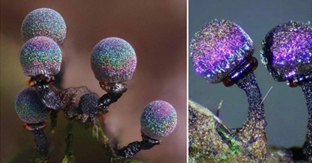 The Amethyst Mushroom, Looks like It Contains the Entire Galaxy