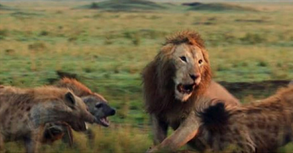 Lion Struggles to Fight Off 20 Hyenas Until His Bro Shows Up to Save Him
